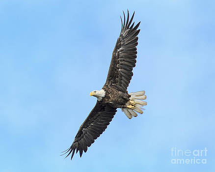 American Bald Eagle Soars by Mark East