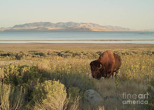 American Bison Antelope Island Utah by Doug Herr