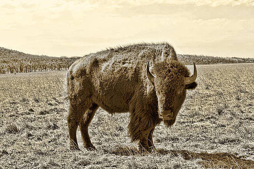 TONY GRIDER - American Bison in Gold Sepia - Left View