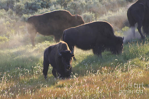 Teresa Zieba - American Bison in Yellowstone