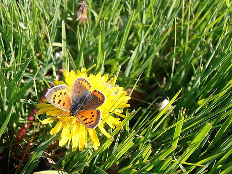 Kimberly Perry - American Copper Butterfly