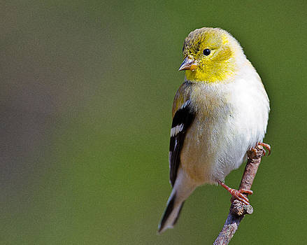 American Finch by Ray Downs
