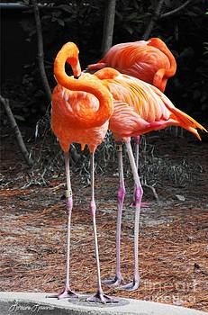 American Flamingo 2 by Lorraine Louwerse