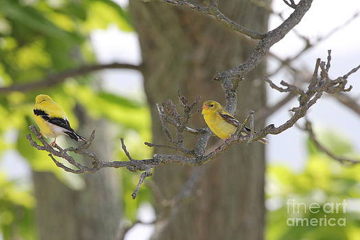 American Goldfinch Pair by Scenesational Photos