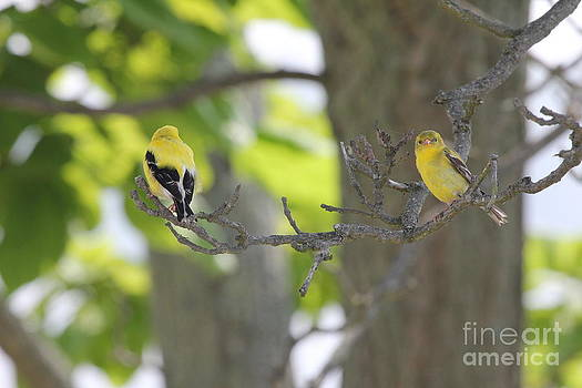 American Goldfinch by Scenesational Photos