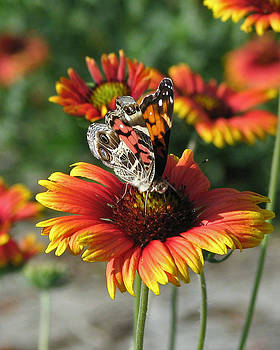 Peg Urban - American Lady Butterfly