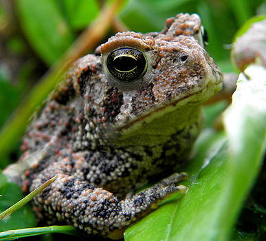 American Toad by Griffin Harris