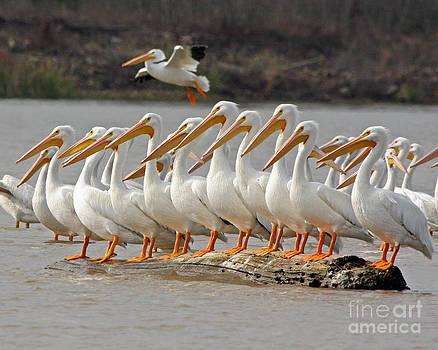 American White Pelican by Kathy Eastmond