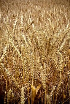 Americas Wheat by Rick Otto