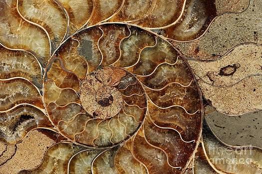 Ammonite Fossil by Lori Bristow