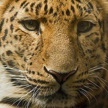 David Pringle - Amur Leopard