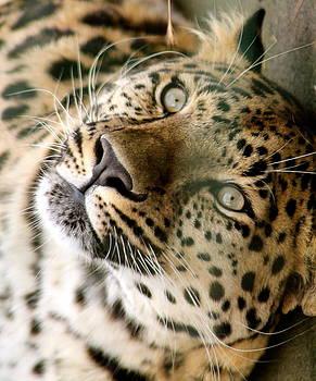 Amur Leopard by Karen Grist
