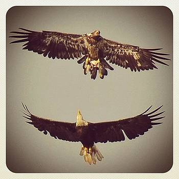 An Adolescent #eagle With An Adult by Robyn Montella