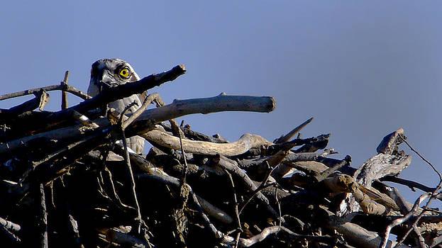 An Osprey's Stare by Bob Lennox