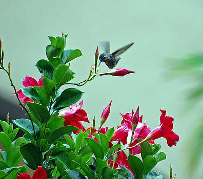 Anaheim Hummingbird by Charles Frieda
