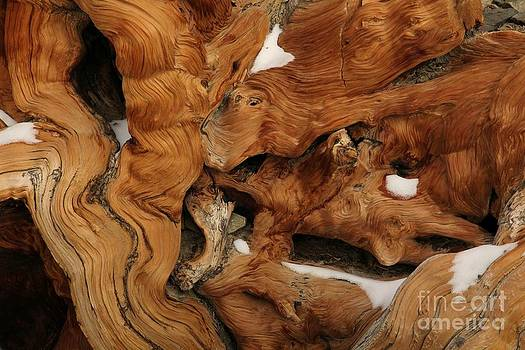 Ancient Bristlecone Pine by Lori Bristow