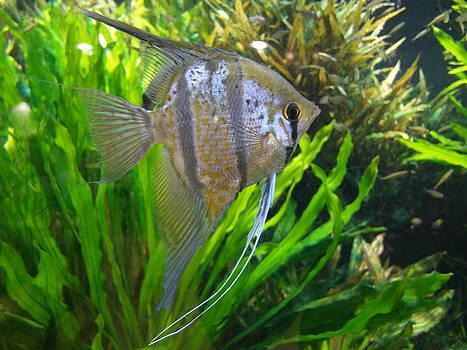 Angel Fish by Tanya Moody