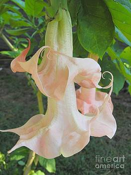 Angel Trumpet by Pauline Margarone