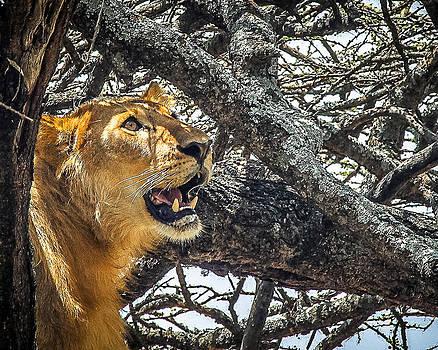 Angelic Lion by Diane Geddes