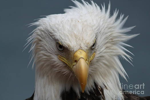 Angry Bald Eagle by Dean Gribble
