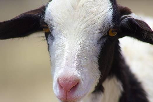 Jennifer Lamanca Kaufman - Anguilla Goat