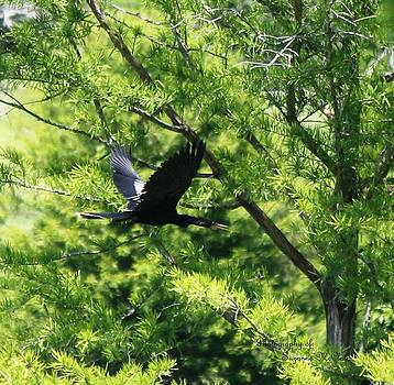 Anhinga in Flight  1713 I by Suzanne  McClain