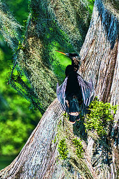 Anhinga on a Cyprus by Frank Feliciano