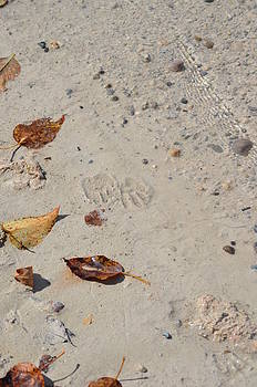 Animal Prints In The Sand2 by Jennifer  King
