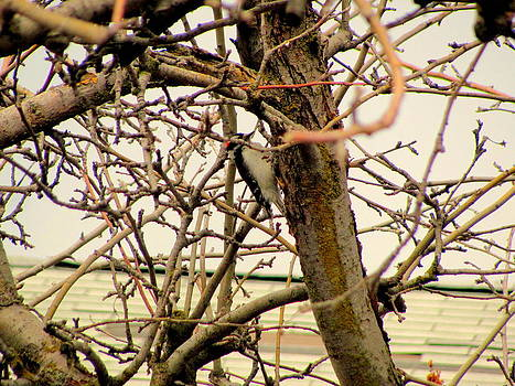 Another Angle of Wood Pecker in Apple Tree by Amy Bradley