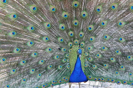 Another Peacock by Scott Brown