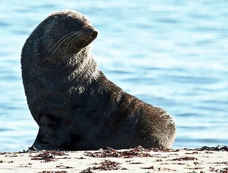 Antarctic Fur Seal 02 by David Barringhaus