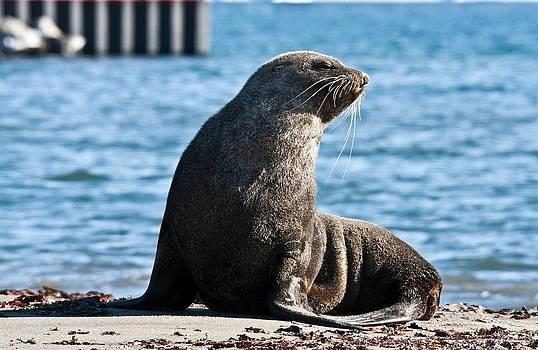 Antarctic Fur Seal 05 by David Barringhaus