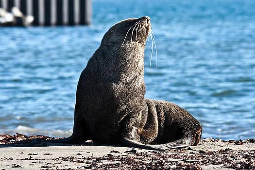 Antarctic Fur Seal 06 by David Barringhaus