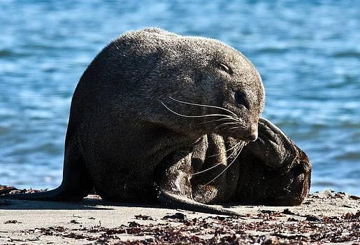 Antarctic Fur Seal 07 by David Barringhaus