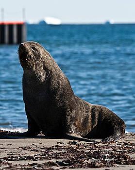Antarctic Fur Seal 09 by David Barringhaus
