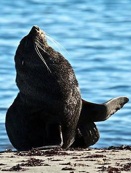 Antarctic Fur Seal by David Barringhaus
