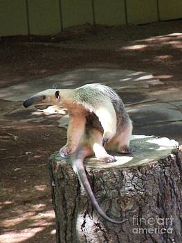 Anteater Close Up by Lorrie Bible