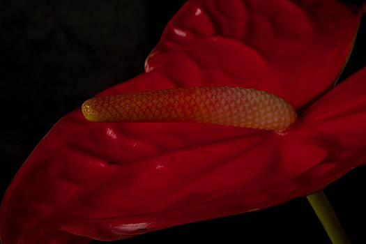 Anthurium by Brad Rickerby