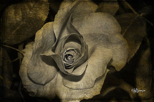 Antique Rose by Jeff Swanson