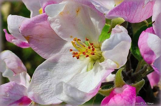 Apple blossom by Alexander Elzinga
