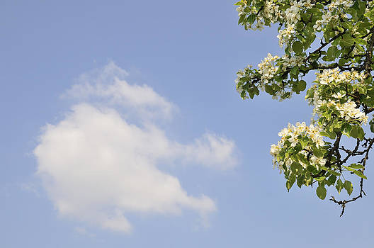 Apple blossom and blue sky with cloud in spring by Matthias Hauser