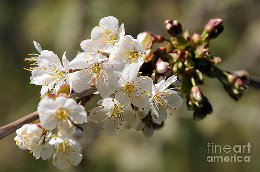 Sarah Schroder - Apple Blossom II