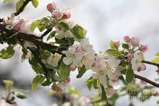 Apple Blossoms II by Scenesational Photos