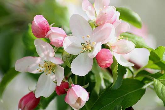 Apple blossoms by Ralph Hecht