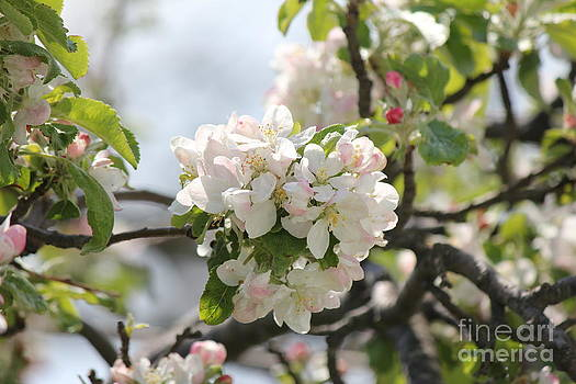 Apple Blossoms by Scenesational Photos