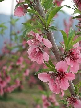 Apple Blossoms by Steve Mangan