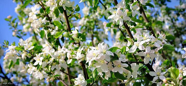 Apple blossoms by Viktor Korostynski