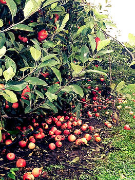 Apple Harvest  by Courtney Habrial