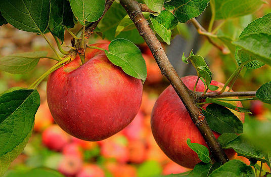 Apple Picking Time by Cathy Leite Photography