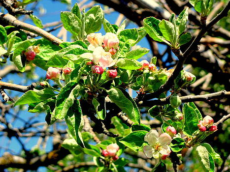 Apple Tree Blooms by Amy Bradley